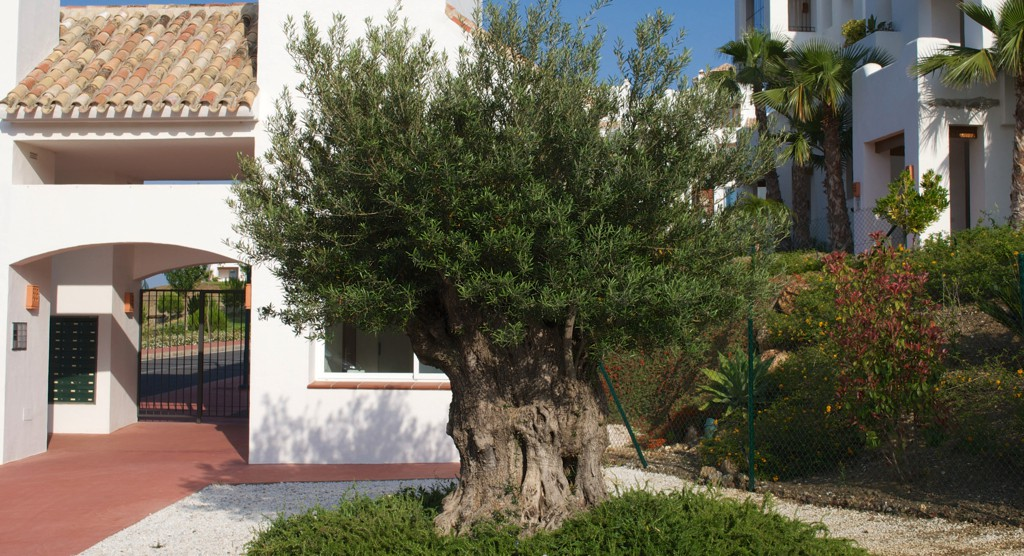 Olive tree at entrance Lomas del Marques